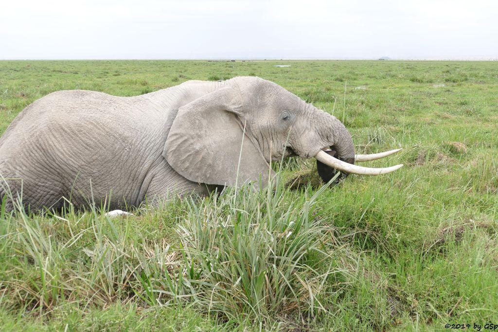 Elefant, Kuhreiher