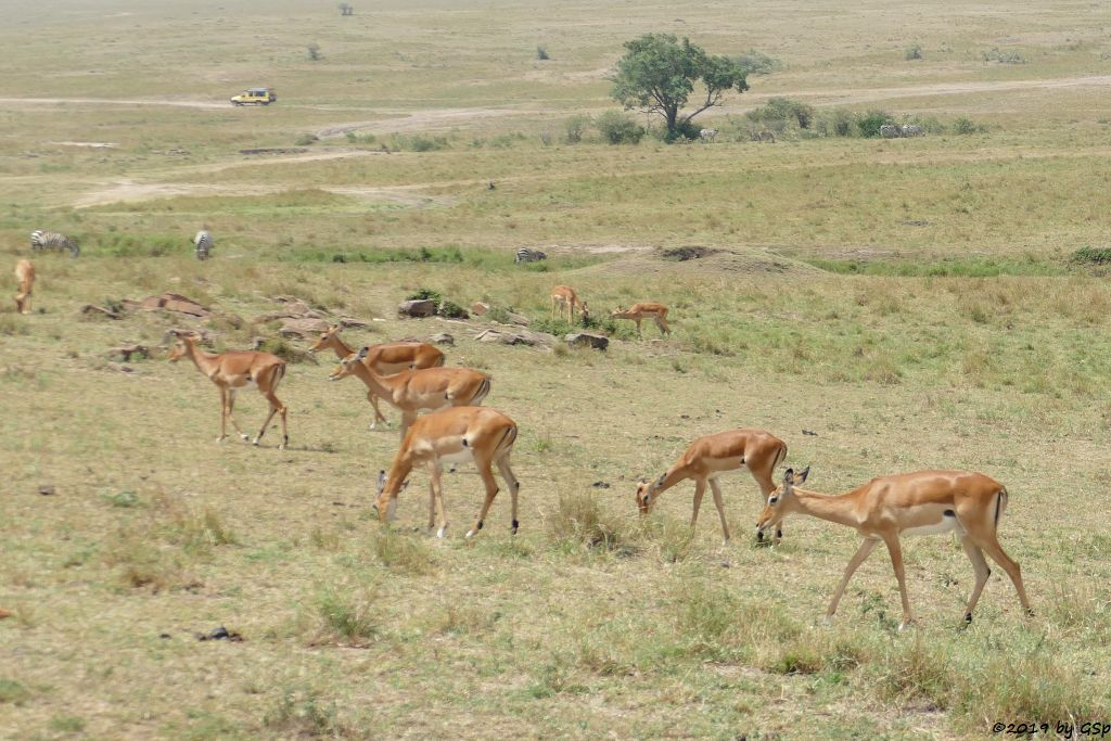 Impala (Schwarzfersenantilope), Böhm-Steppenzebra)