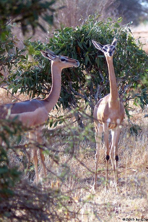 Giraffengazelle