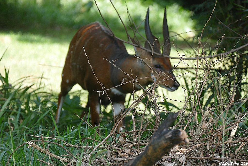 Buschbock, Schirrantilope (Bushbuck)
