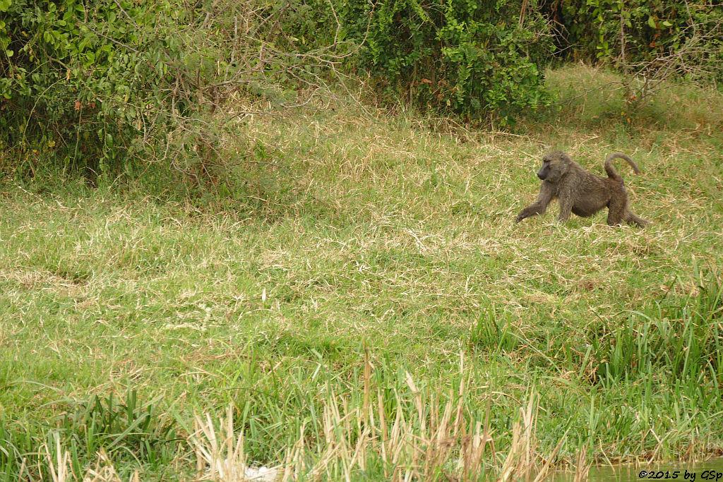 Anubis- (Grüner) Pavian (Anubis Baboon/Olive Baboon)