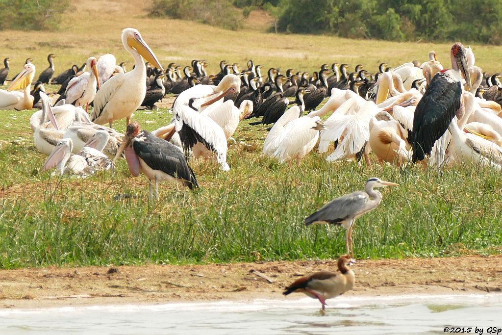 Nimmersatt, Rosapelikan, Marabu, Weißbrustkormoran, Nilgans, Graureiher (Yellow-billed Stork,Great white Pelican, Marabou Stork, Greater (white-breasted) Cormorant, Egyptian Goose, Grey Heron)