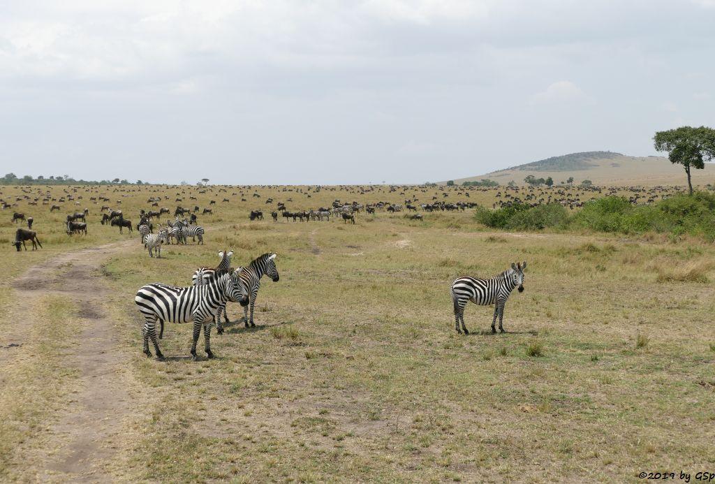 Böhm-Steppenzebra (Grant-Zebra), Weißbartgnu