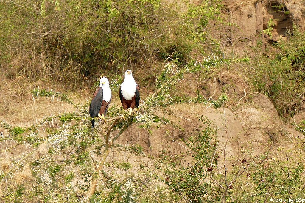 Schreiseeadler (African Fish-eagle)