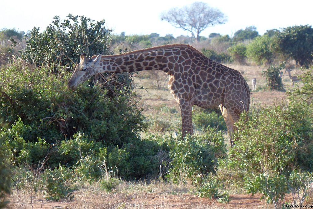 Massai-Giraffe, Giraffengazelle