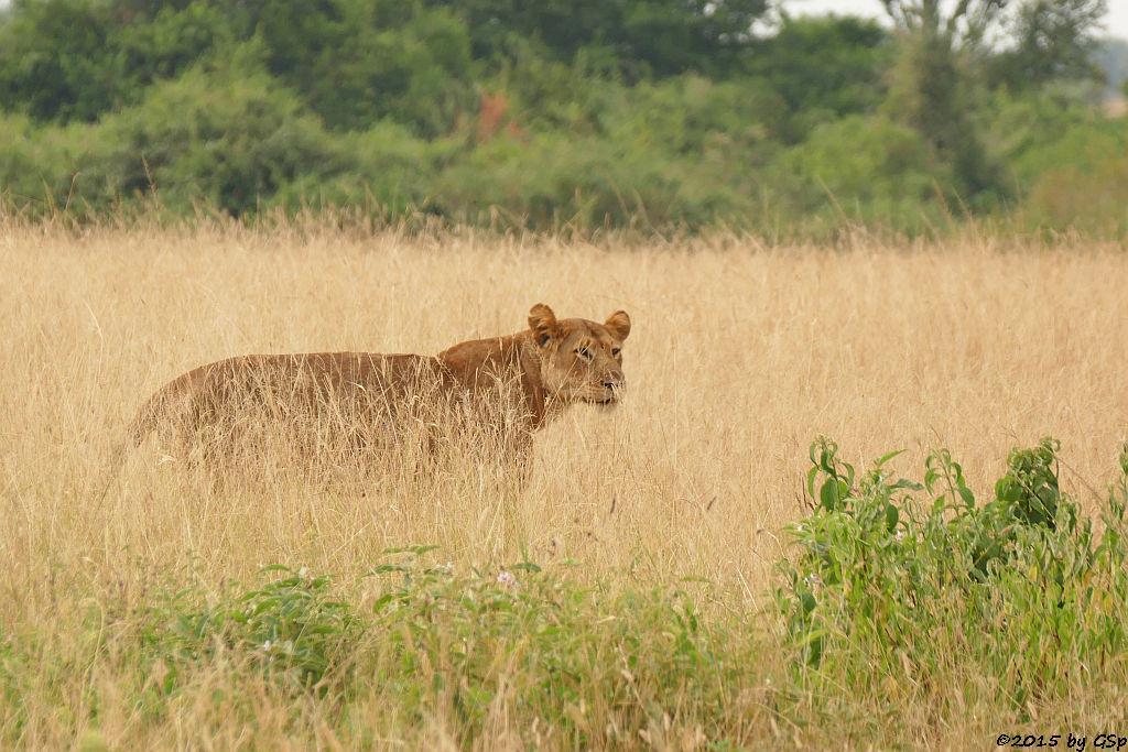Löwe (Lion)