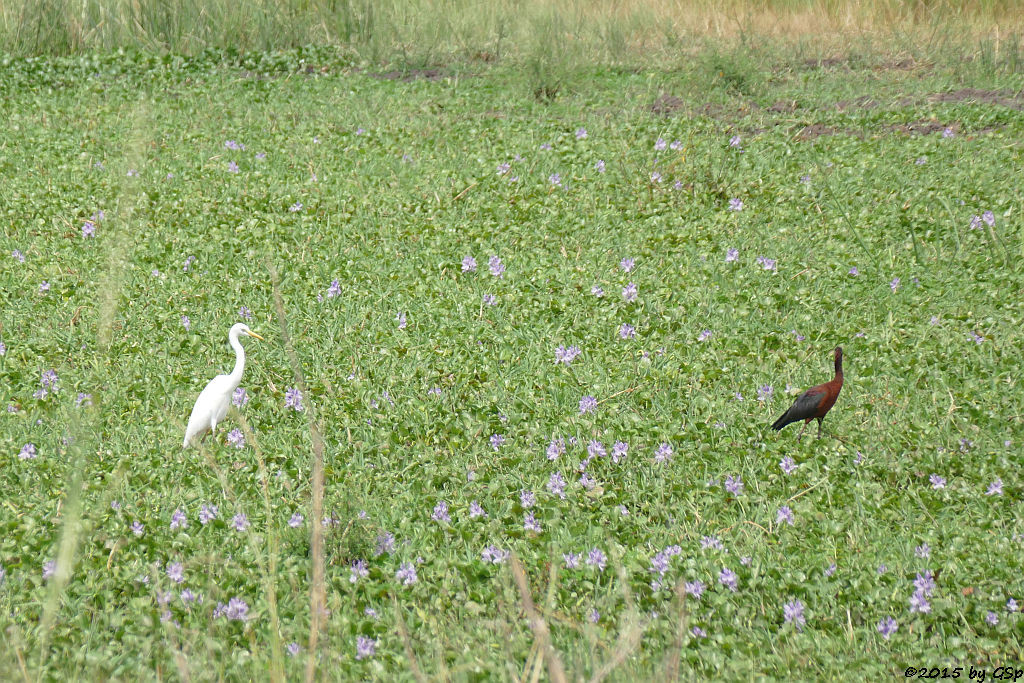 Kuhreiher, Witwenpfeifgans (Cattle Ibis, White-faced Whistling-Duck)