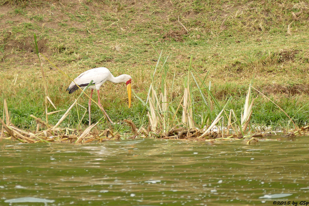 Nimmersatt, (Yellow-billed Stork)
