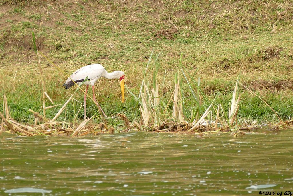Nimmersatt, (Yellow-billed Stork)