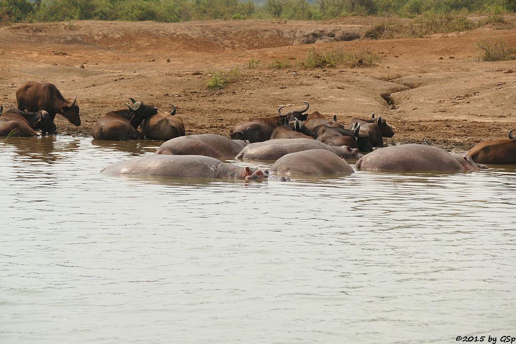 Flusspferd, Kaffernbüffel (Hippopotamus/Hippo, Buffalo)