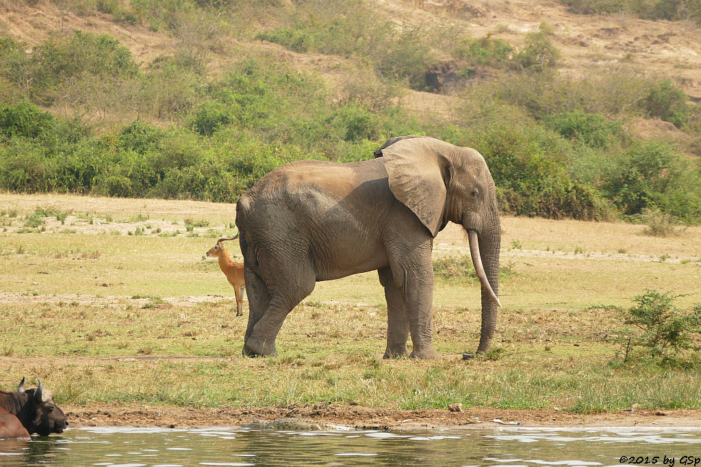 Kaffernbüffel, Afrikanischer Elefant, Uganda-Grasantilope/Thomas-Wasserbock (Buffalo, African Elephant, Ugandan Kob)
