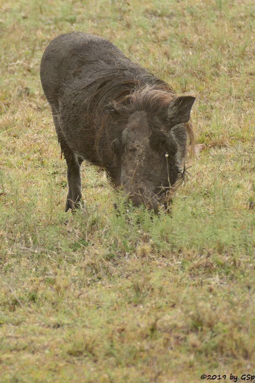 Gewöhnliches Warzenschwein