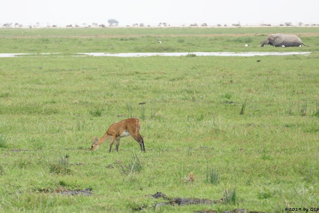 Riedbock, Elefant