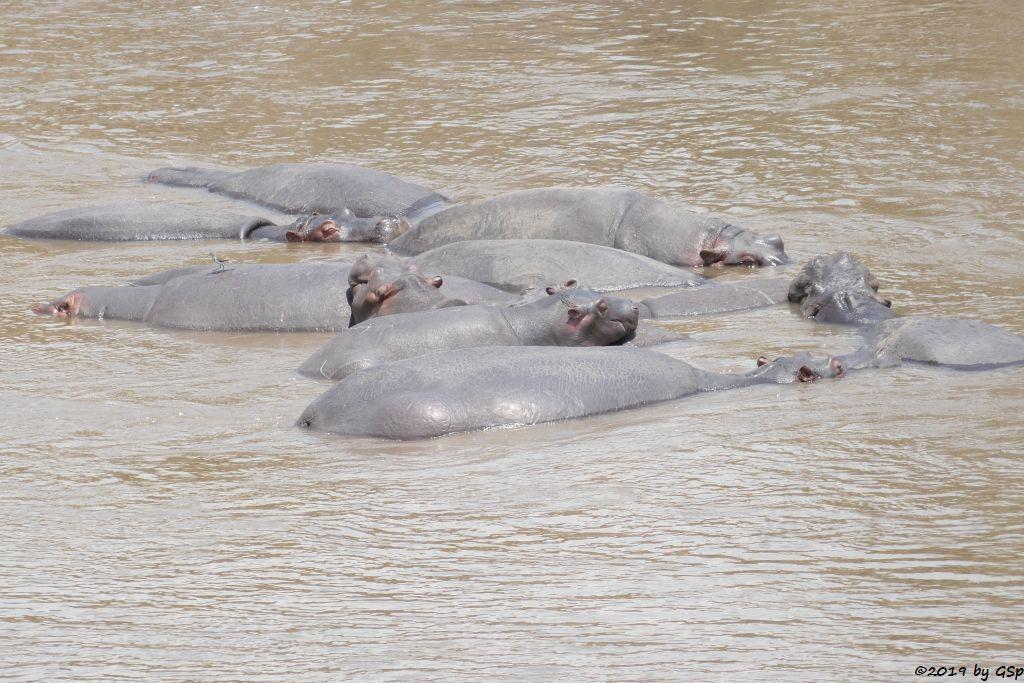 Flussspferd (Nilpferd)
