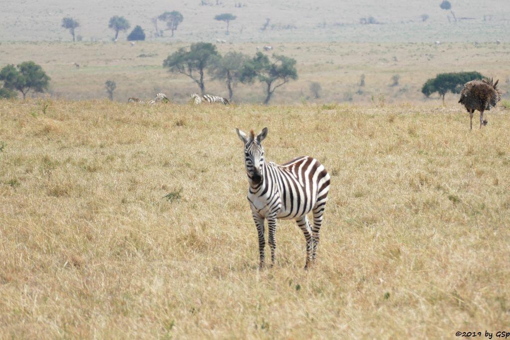 Böhm-Steppenzebra (Granz-Zebra), Massaistrauß (Rothalsstrauß)