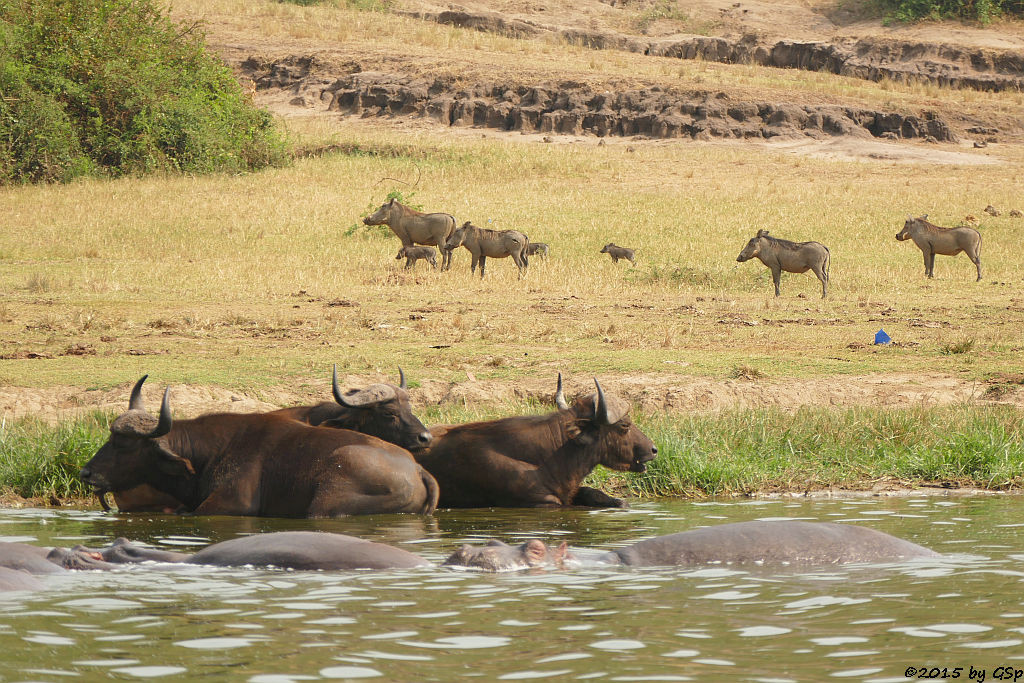Flusspferd, Kaffernbüffel, Warzenschwein (Hippopotamus/Hippo, Buffalo, Warthog)