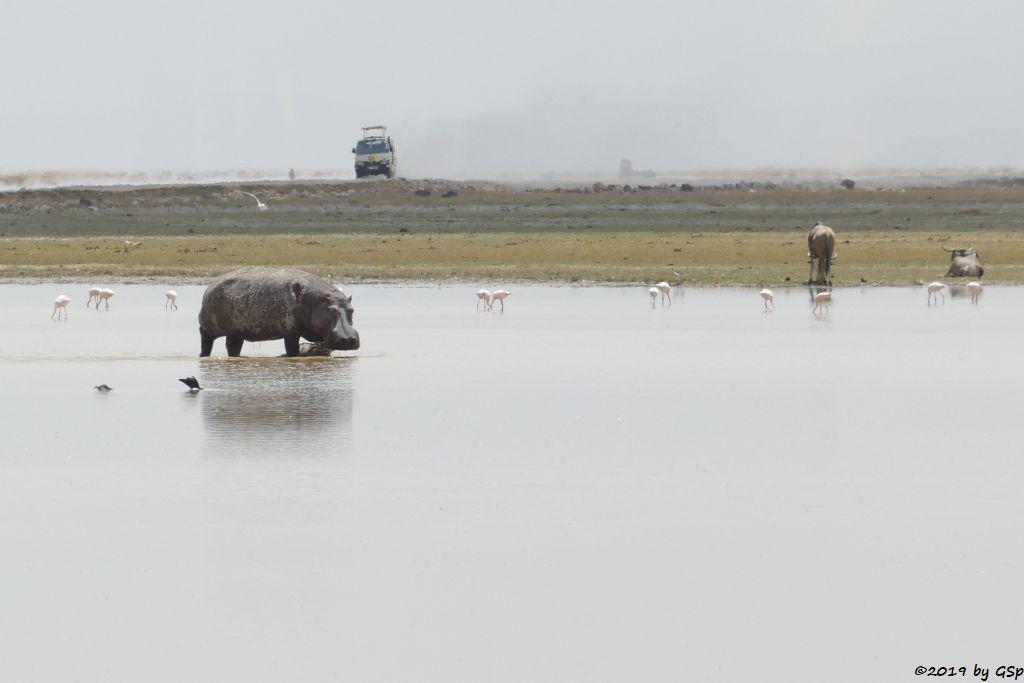 P1660019 Zwergflamingo, Flusspferd (Nilpferd), Östliches Weißbartgnu,