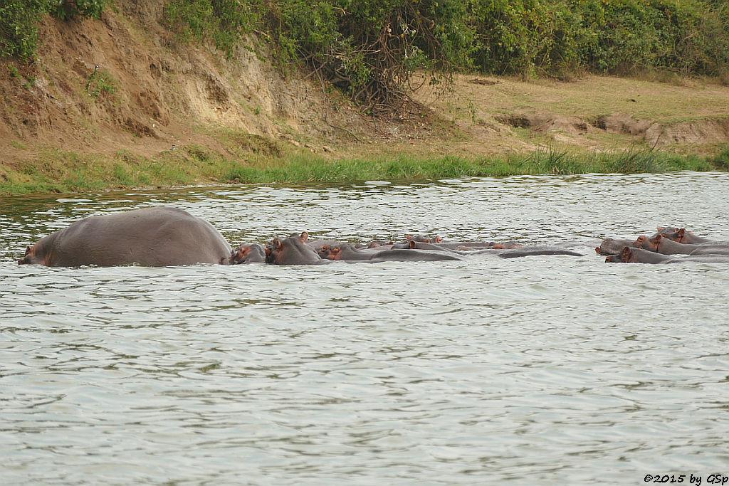 Flusspferd (Hippopotamus/Hippo)
