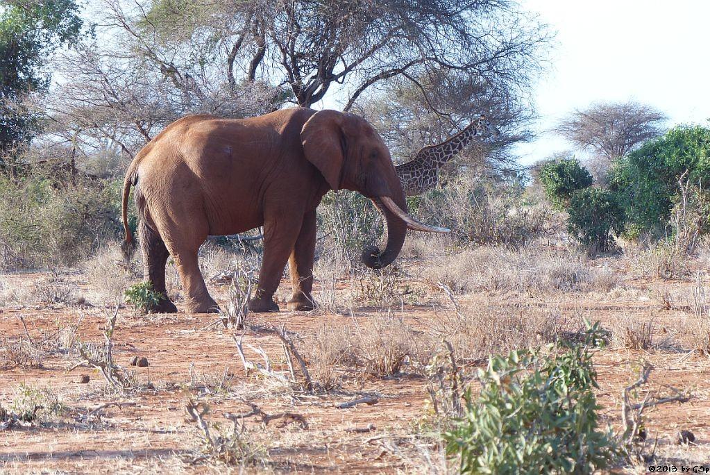 Elefant, Massai-Giraffe