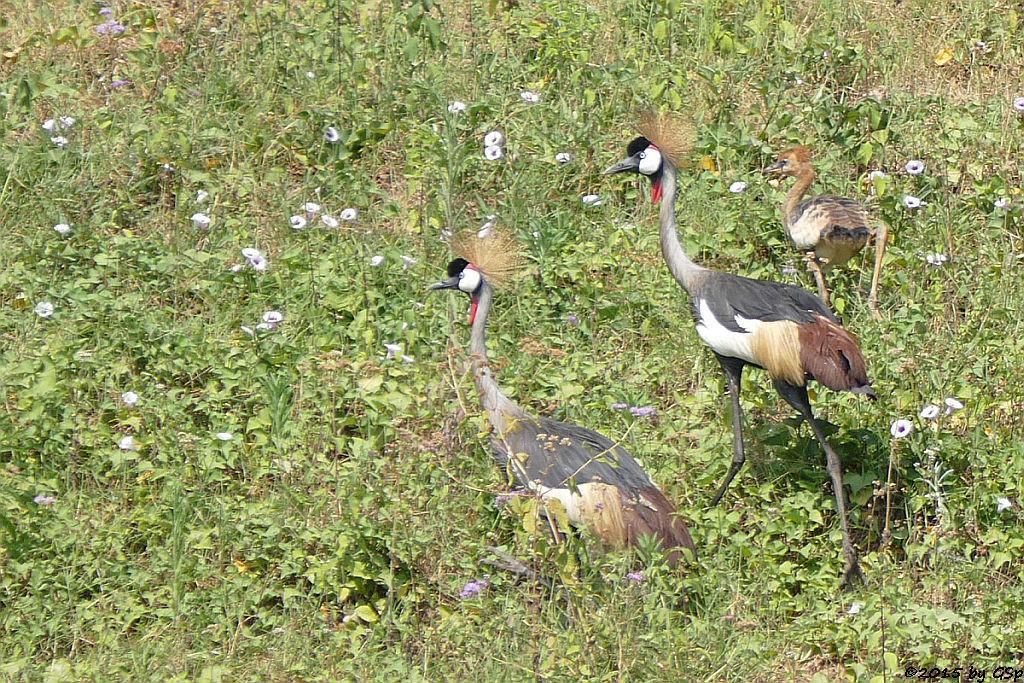 Grauhals-Kronenkranich (Grey Crowned Crane)