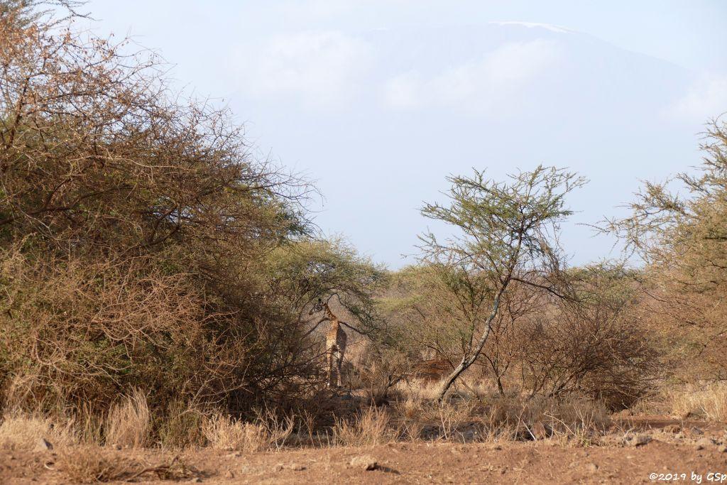 Massai-Giraffe vor dem Kilimandscharo