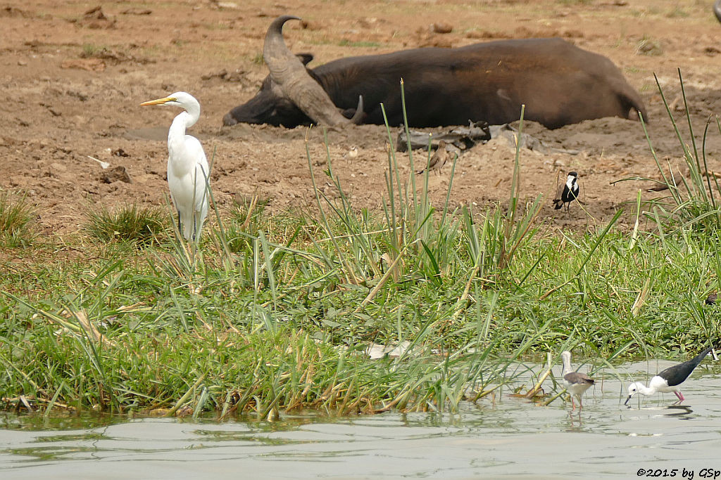 Kuhreiher, Kaffernbüffel, Spornkiebitz, Stelzenläufer (Cattle Ibis, Buffalo, Spurwing Plover, Back-winged Stilt)