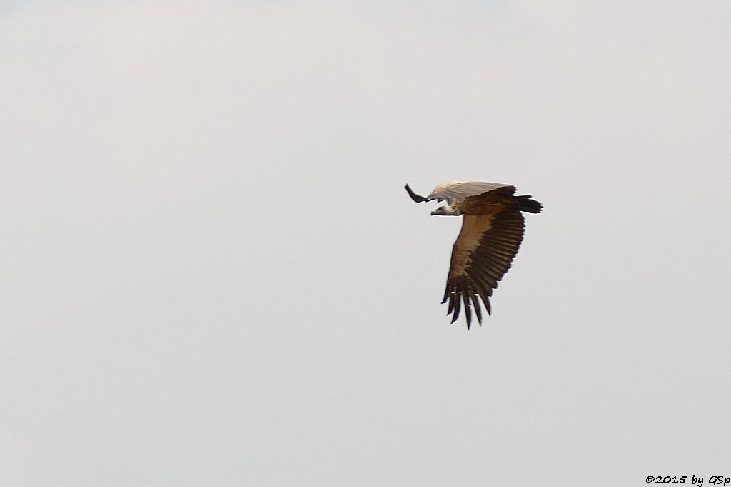 Weißrückengeier (White-backed Vulture)