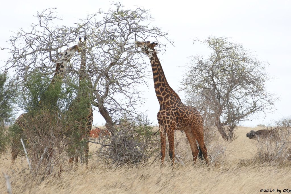 Massai-Giraffe, Kapbüffel (Kaffernbüffel, Schwarzbüffel)