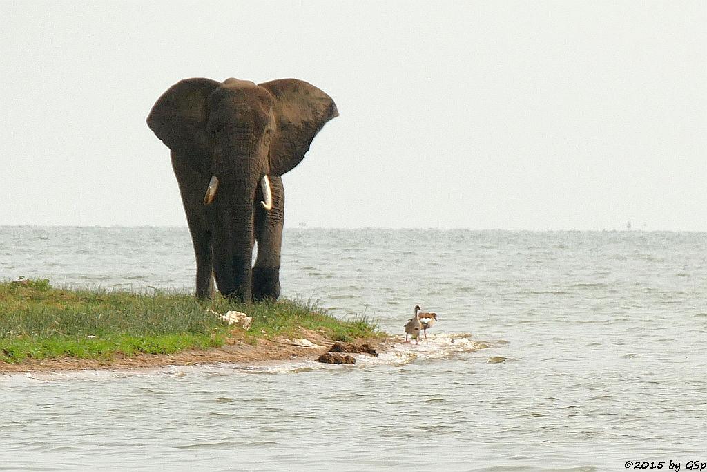 Afrikanischer Elefant, Nilgans - Lake George (African Elephant, Egyptian Goose)