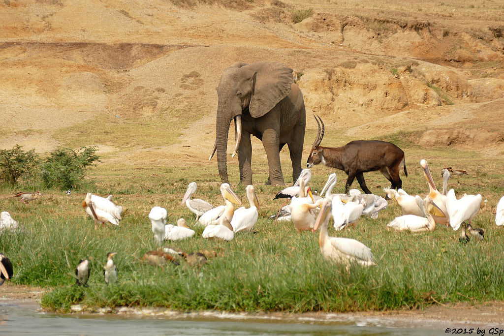 Nilgans, Weißbauchkormoran, Rosapelikan, Afrikan.Elefant, Nimmersatt, Defassa-Wasserbock (Egyptian Goose, Greater (white-breasted) Cormorant, Great white Pelican, Yellow-billed Stork, Waterbuck)
