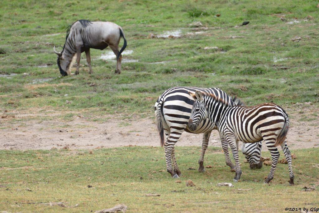 Östliches Weißbartgnu, Böhm-Steppenzebra (Grant-Zebra)