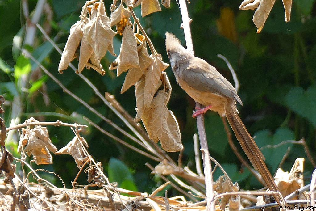 Mount-Meru-Streifenmausvogel, Kenia-Weißohr-Mausvogel (Speckled Mousebird)