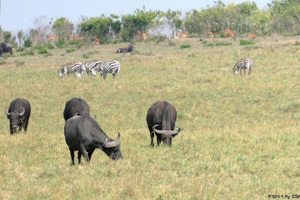 Kaffernbüffel (Schwarzbüffel), Böhm-Steppenzebra (Grant-Zbera)
