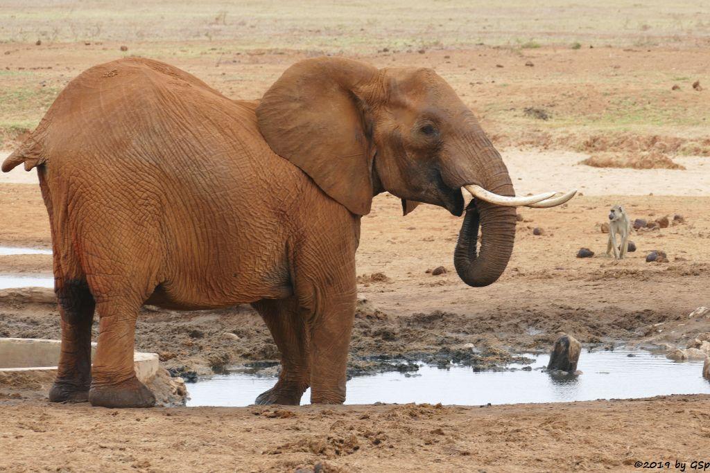 Elefant, Gelber Pavian (Steppenpavian, Langarm-Pavian)