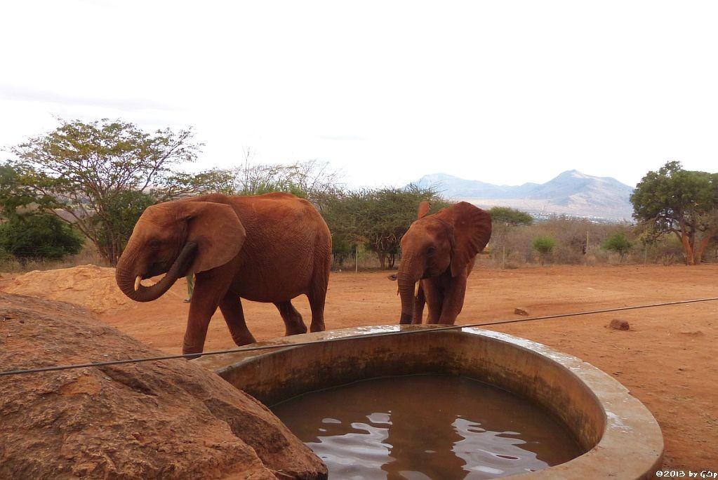 hier stillen auch ehemalige Waisen und wilde Elefanten öfter ihren Durst