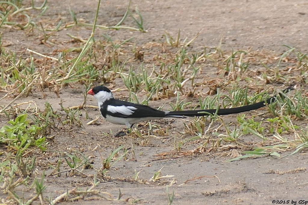 Dominikanerwitwe (Pin-tailed Whydah)