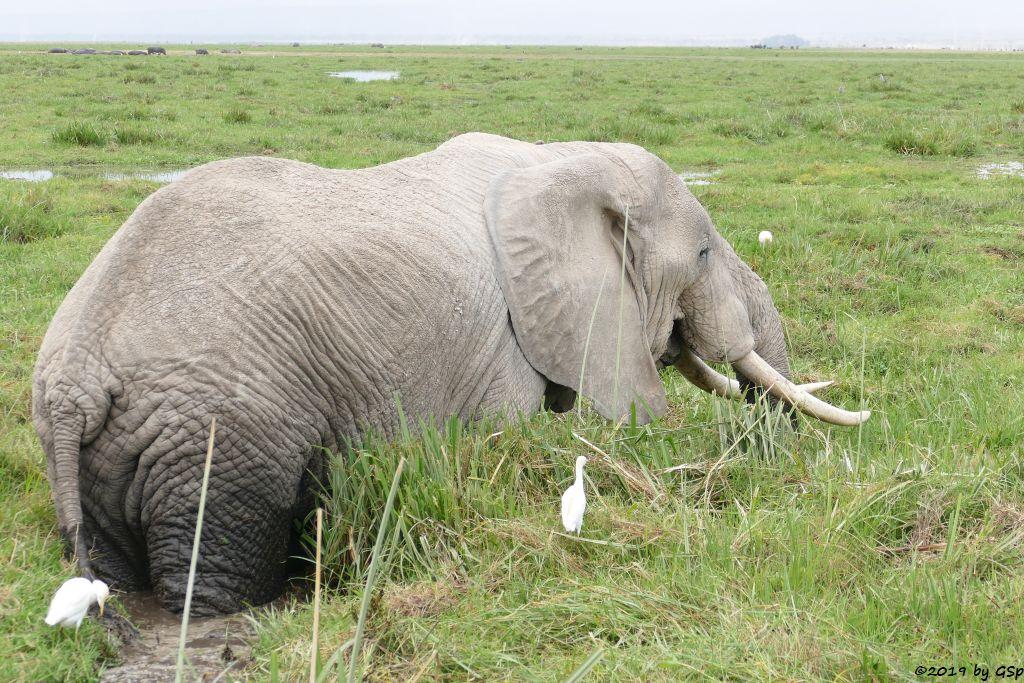 Elefant, Kuhreiher, Flusspferd (Nilpferd)