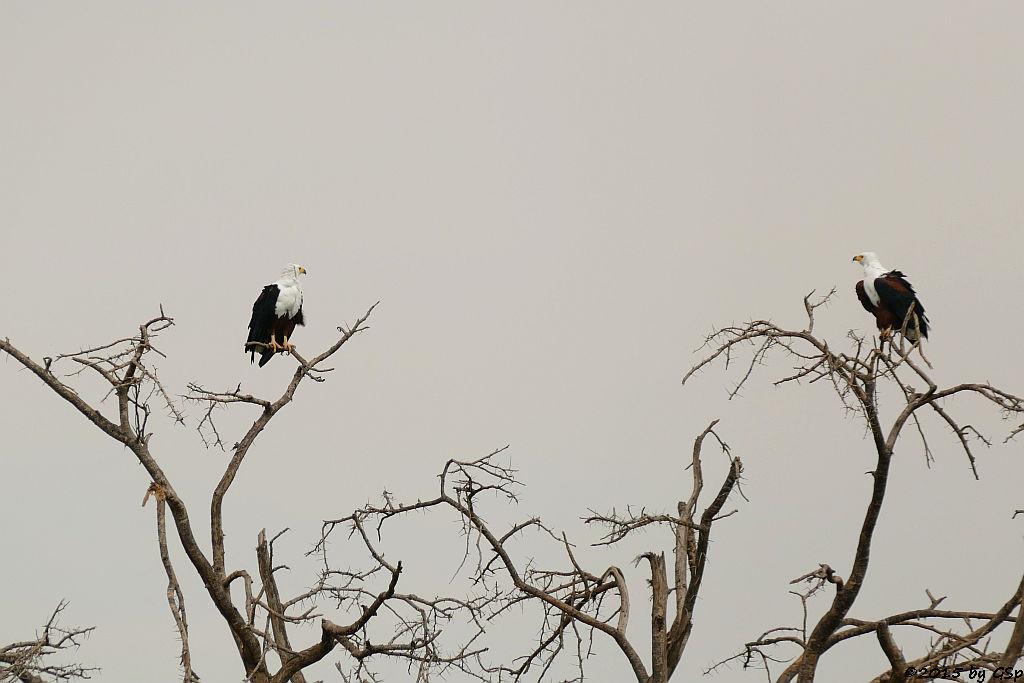 Schreiseeadler (African Fish-eagle