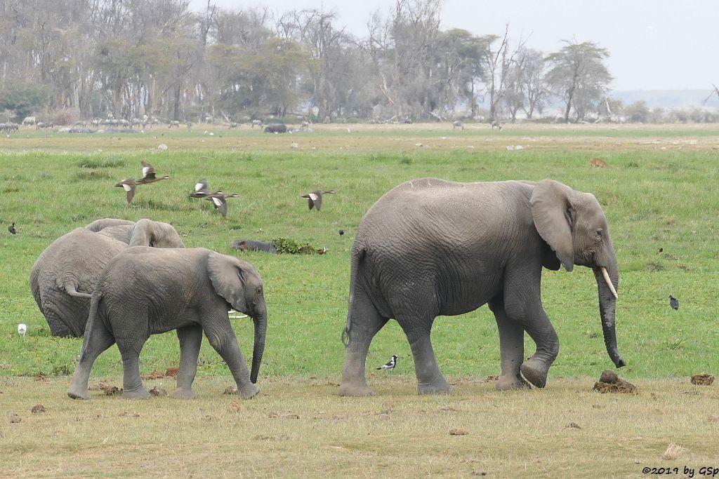 Elefant, Flusspferd (Nildpferd), Rotschnabelente, Östliches Weißbartgnu