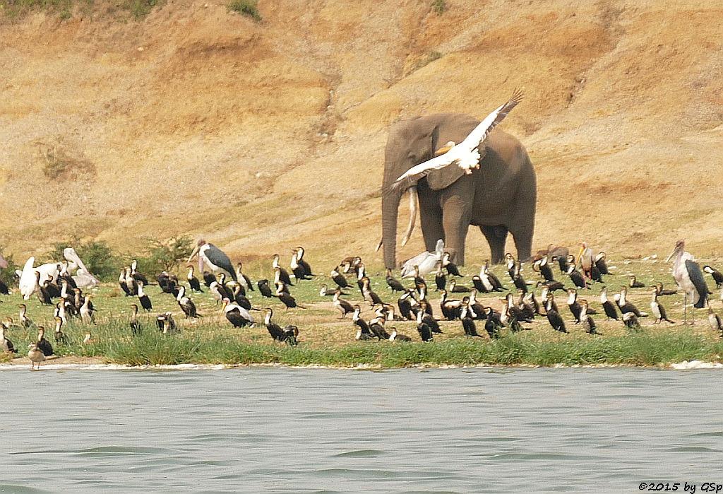 Rosapelikan, Weißbauchkormoran, Marabu, Afrikanischer Elefant, Nimmersatt (Great white Pelican, Greater (white-breasted) Cormorant, Marabou Stork, African Elephant,  Yellow-billed Stork)