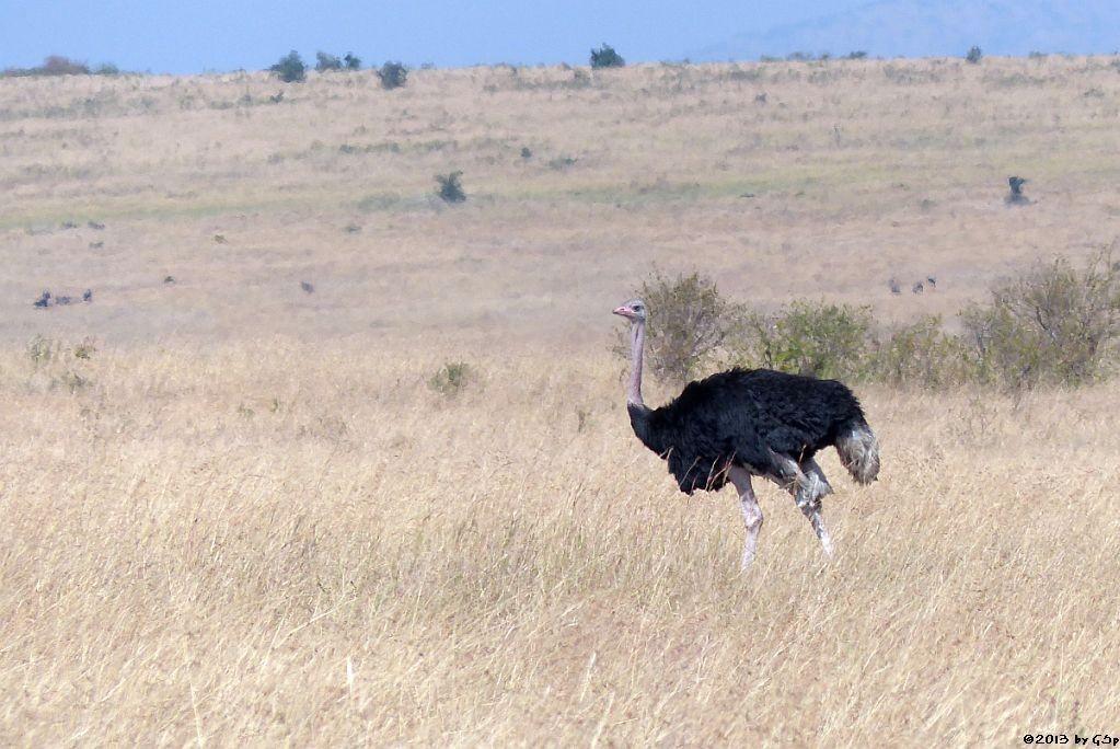 Massai-Strauß