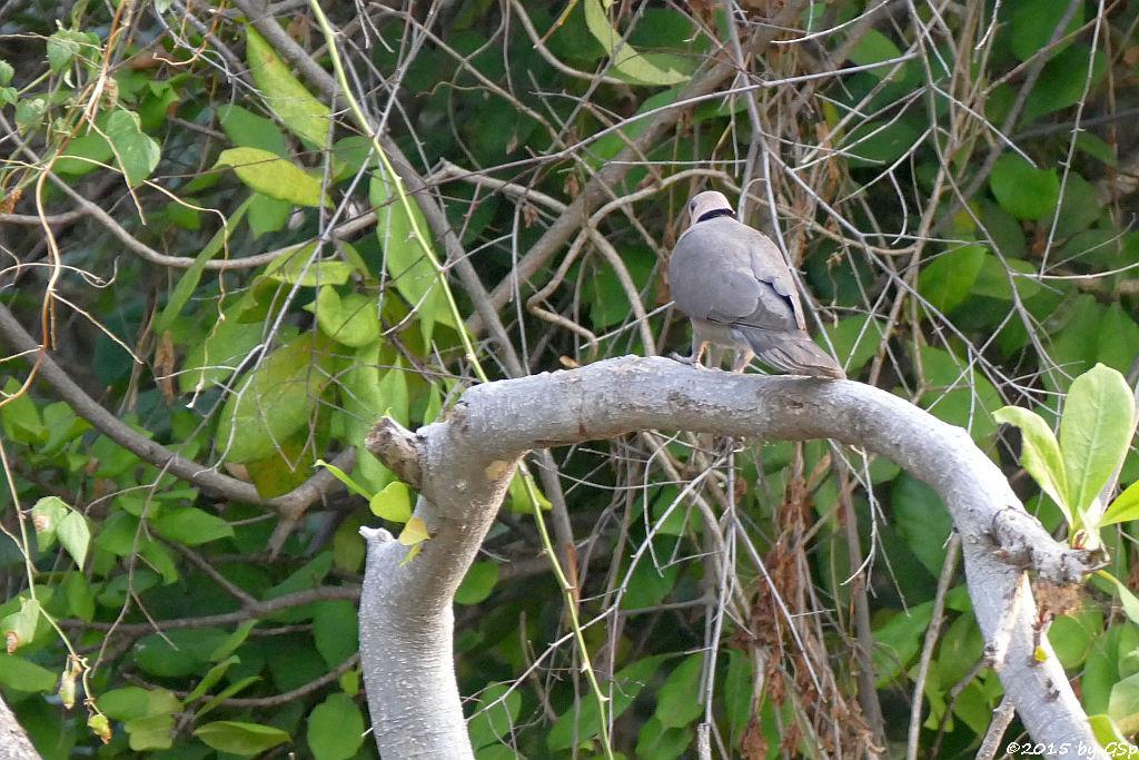 Kapturteltaube/Kaplachtaube (Ring-necked Dove)