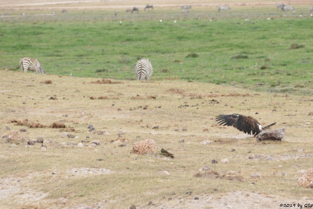 Steppenadler, Böhm-Steppenzebra (Grant-Zebra), Weißbartgnu