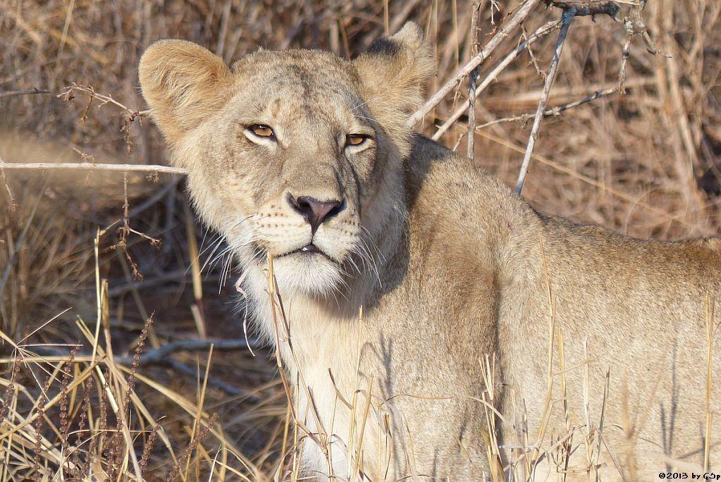 Massai-Löwe