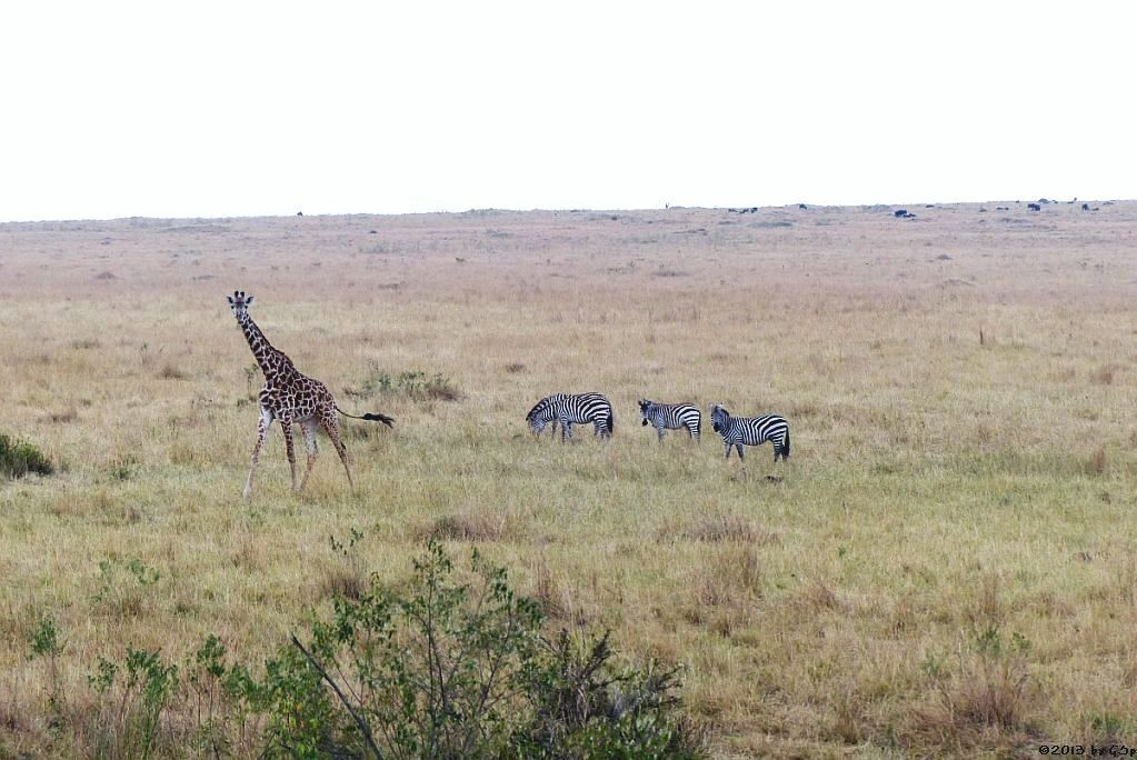 Massai-Giraffe, Böhm-Steppenzebra