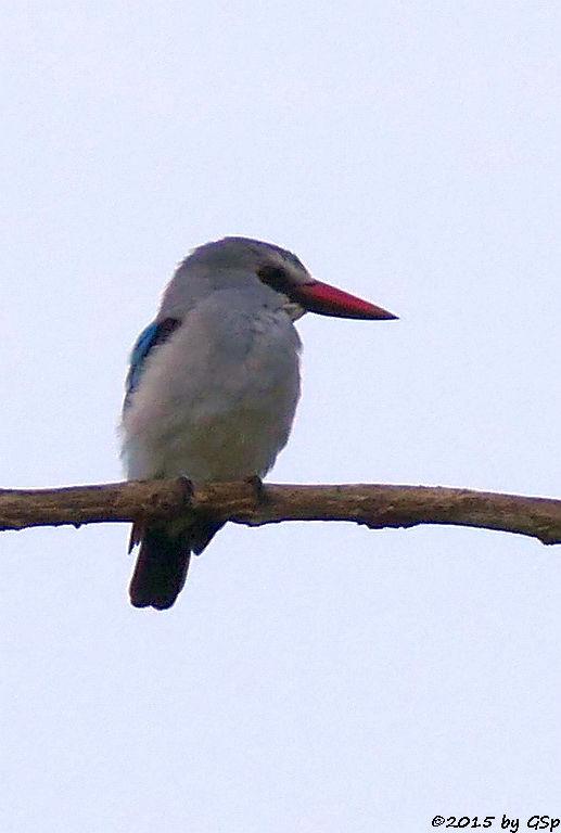 Senegalliest (Woodland Kingfisher)