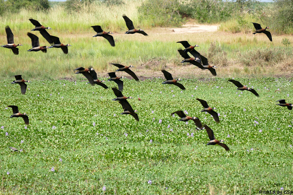 Witwenpfeifgans (White-faced Whistling-Duck)