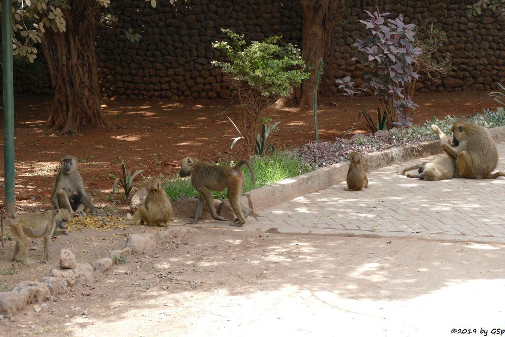 Gelber Pavian (Gelber Babuin, Langarm-Pavian)