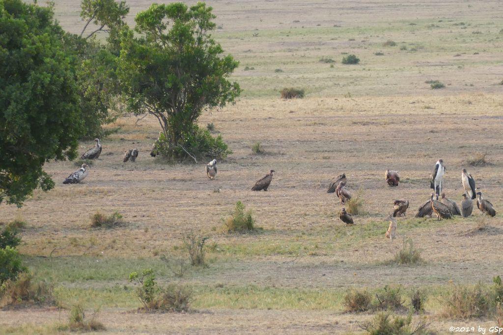 Schabrackenschakal, Weißrückengeier, Marabu