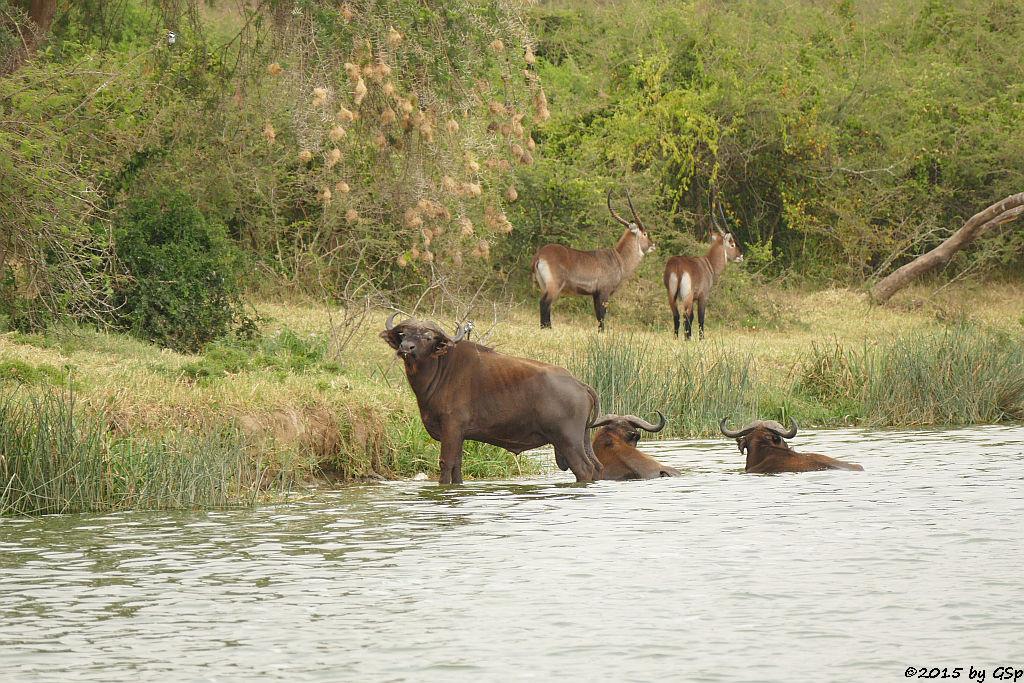 Kaffernbüffel, Defassaa-Wasserbock (Buffalo, Waterbuck)